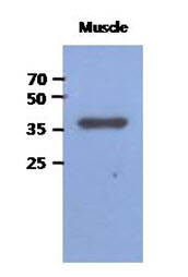 Western Blot: The extracts of Mouse muscle (40 ug) were resolved by SDS-PAGE, transferred to PVDF membrane and probed with anti-human FBP2 antibody (1:1000). Proteins were visualized using a goat anti-mouse secondary antibody conjugated to HRP and an ECL detection system.