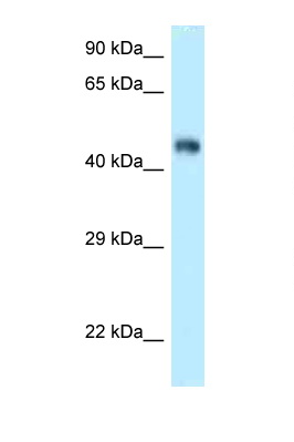 FBXL3 antibody LS-C145919 Western blot of Mouse Kidney lysate. Antibody concentration 1 ug/ml.  This image was taken for the unconjugated form of this product. Other forms have not been tested.