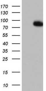 FBXW7 / FBW7 Antibody - HEK293T cells were transfected with the pCMV6-ENTRY control (Left lane) or pCMV6-ENTRY FBXW7 (Right lane) cDNA for 48 hrs and lysed. Equivalent amounts of cell lysates (5 ug per lane) were separated by SDS-PAGE and immunoblotted with anti-FBXW7.