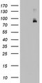 HEK293T cells were transfected with the pCMV6-ENTRY control (Left lane) or pCMV6-ENTRY FBXW7 (Right lane) cDNA for 48 hrs and lysed. Equivalent amounts of cell lysates (5 ug per lane) were separated by SDS-PAGE and immunoblotted with anti-FBXW7.
