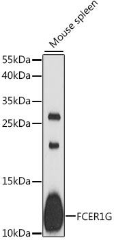 Western blot analysis of extracts of mouse spleen, using FCER1G antibody at 1:1000 dilution. The secondary antibody used was an HRP Goat Anti-Rabbit IgG (H+L) at 1:10000 dilution. Lysates were loaded 25ug per lane and 3% nonfat dry milk in TBST was used for blocking. An ECL Kit was used for detection and the exposure time was 90s.