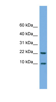 FCER1G antibody Western blot of HeLa lysate. This image was taken for the unconjugated form of this product. Other forms have not been tested.