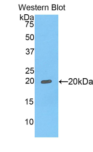 FCGBP Antibody - Western blot of recombinant FCGBP.  This image was taken for the unconjugated form of this product. Other forms have not been tested.
