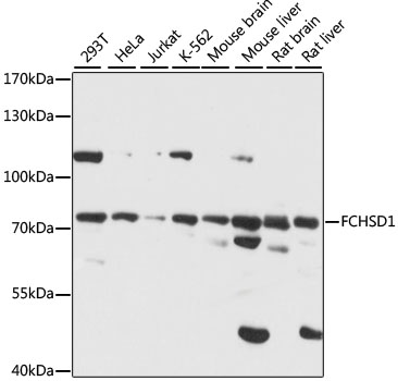 FCHSD1 Antibody - Western blot analysis of extracts of various cell lines, using FCHSD1 antibody at 1:1000 dilution. The secondary antibody used was an HRP Goat Anti-Rabbit IgG (H+L) at 1:10000 dilution. Lysates were loaded 25ug per lane and 3% nonfat dry milk in TBST was used for blocking. An ECL Kit was used for detection and the exposure time was 15S.