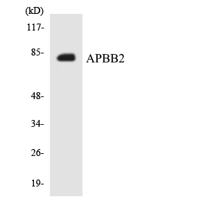 Western blot analysis of the lysates from HepG2 cells using APBB2 antibody.