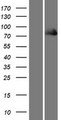 FERMT1 / Kindlin Protein - Western validation with an anti-DDK antibody * L: Control HEK293 lysate R: Over-expression lysate
