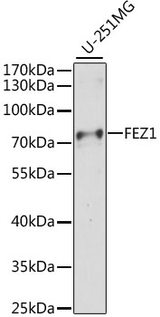 FEZ1 Antibody - Western blot analysis of extracts of U-251MG cells, using FEZ1 antibody at 1:1000 dilution. The secondary antibody used was an HRP Goat Anti-Rabbit IgG (H+L) at 1:10000 dilution. Lysates were loaded 25ug per lane and 3% nonfat dry milk in TBST was used for blocking. An ECL Kit was used for detection and the exposure time was 30s.