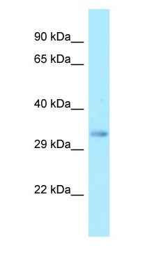 FFAR2 / GPR43 antibody Western Blot of Fetal Liver.  This image was taken for the unconjugated form of this product. Other forms have not been tested.