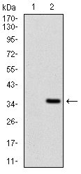Western blot using FGF4 monoclonal antibody against HEK293 (1) and FGF4 (AA: 62-123)-hIgGFc transfected HEK293 (2) cell lysate.