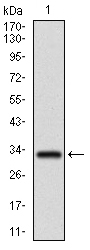 Western blot using FGF4 monoclonal antibody against human FGF4 recombinant protein. (Expected MW is 32.6 kDa)