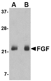 Western blot of FGF4 in NIH 3T3 cell lysate with FGF4 antibody at (A) 0.5 and (B) 1 ug/ml.