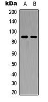 FGFR4 Antibody - Western blot analysis of FGFR4 expression in HEK293T (A); PC12 (B) whole cell lysates.