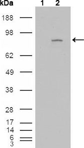 Western blot using FGFR4 mouse monoclonal antibody against HEK293T cells transfected with the pCMV6-ENTRY control (1) and pCMV6-ENTRY FGFR4 cDNA (2).