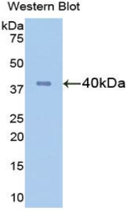Western blot of recombinant FGL1 / Hepassocin.  This image was taken for the unconjugated form of this product. Other forms have not been tested.