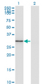 Western Blot analysis of FGL1 expression in transfected 293T cell line by FGL1 monoclonal antibody (M01), clone 2A4.Lane 1: FGL1 transfected lysate(36.4 KDa).Lane 2: Non-transfected lysate.