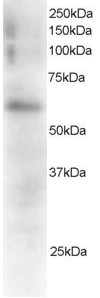 Antibody staining (0.5 ug/ml) of Mouse Spleen extracts (RIPA buffer, 35 ug total protein per lane). Primary incubated for 1 hour. Detected by Western blot of chemiluminescence.