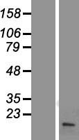 FHIT Protein - Western validation with an anti-DDK antibody * L: Control HEK293 lysate R: Over-expression lysate