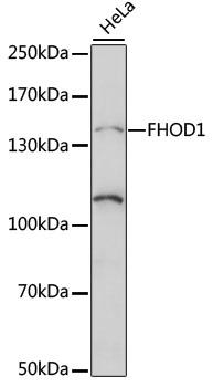 FHOS / FHOD1 Antibody - Western blot analysis of extracts of HeLa cells, using FHOD1 antibody at 1:1000 dilution. The secondary antibody used was an HRP Goat Anti-Rabbit IgG (H+L) at 1:10000 dilution. Lysates were loaded 25ug per lane and 3% nonfat dry milk in TBST was used for blocking. An ECL Kit was used for detection and the exposure time was 90s.