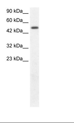 Fetal Kidney Lysate.  This image was taken for the unconjugated form of this product. Other forms have not been tested.