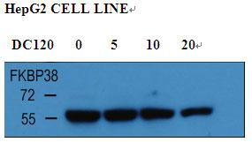 With HepG2 cell line lysate, the resolved proteins were electrophoretically transferred to PVDF membrane and incubated sequentially with primary antibody FKBP38 (1:1000, 4 degrees C overnight ) and horseradish peroxidase-conjugated second antibody. After washing, the bound antibody complex was detected using an ECL chemiluminescence reagent and XAR film (Kodak).