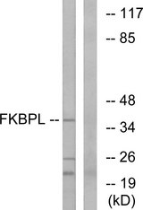 Western blot analysis of lysates from Jurkat cells, using FKBPL Antibody. The lane on the right is blocked with the synthesized peptide.