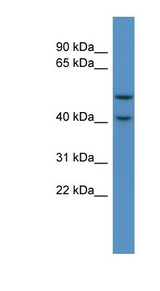 FKRP Antibody - FKRP antibody Western blot of Mouse Heart lysate. This image was taken for the unconjugated form of this product. Other forms have not been tested.