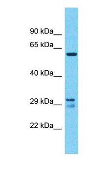 FKSG40 / KAZALD1 Antibody - Western blot of KAZALD1 Antibody with U937 Whole cell lysate.  This image was taken for the unconjugated form of this product. Other forms have not been tested.