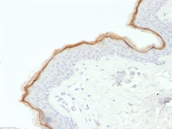 FLG / Filaggrin Antibody - IHC testing of FFPE human skin with Filaggrin antibody (clone FLG/1563). Required HIER: boil tissue sections in 10mM citrate buffer, pH 6, for 10-20 min.