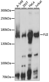 FLII / FLI Antibody - Western blot analysis of extracts of various cell lines, using FLII antibody at 1:1000 dilution. The secondary antibody used was an HRP Goat Anti-Rabbit IgG (H+L) at 1:10000 dilution. Lysates were loaded 25ug per lane and 3% nonfat dry milk in TBST was used for blocking. An ECL Kit was used for detection and the exposure time was 5S.