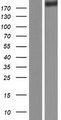 FLNA / Filamin A Protein - Western validation with an anti-DDK antibody * L: Control HEK293 lysate R: Over-expression lysate