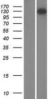 FMN1 Protein - Western validation with an anti-DDK antibody * L: Control HEK293 lysate R: Over-expression lysate