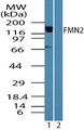 Western blot of FMN2 in human brain lysate in the 1) absence and 2) presence of immunizing peptide using Polyclonal Antibody to FMN2 at 0.25 ug/ml.