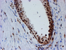 IHC of paraffin-embedded Human prostate tissue using anti-FMR1 mouse monoclonal antibody.