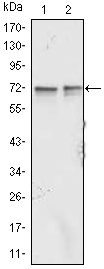 FMR1 / FMRP Antibody - Western blot using FMR1 mouse monoclonal antibody against Jurkat (1) and K562 (2) cell lysate.