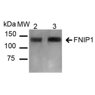 FNIP1 Antibody - Western blot analysis of Mouse, Rat Kidney showing detection of ~131 kDa FNIP1 protein using Rabbit Anti-FNIP1 Polyclonal Antibody. Lane 1: Molecular Weight Ladder (MW). Lane 2: Mouse Kidney cell lysates. Lane 3: Rat Kidney cell lysates. Load: 20 µg. Block: 5% Skim Milk in 1X TBST. Primary Antibody: Rabbit Anti-FNIP1 Polyclonal Antibody  at 1:1000 for 16 hours at 4°C. Secondary Antibody: Goat Anti-Rabbit IgG: HRP at 1:2000 for 60 min at RT. Color Development: ECL solution for 6 min at RT. Predicted/Observed Size: ~131 kDa.