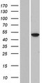 FOLH1B Protein - Western validation with an anti-DDK antibody * L: Control HEK293 lysate R: Over-expression lysate