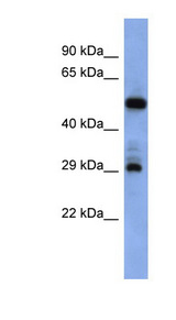 FOLR1 antibody Western blot of PANC1 cell lysate. This image was taken for the unconjugated form of this product. Other forms have not been tested.