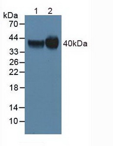 Western Blot; Lane1: Human Hela Cells ; Lane2: Human Mcf7 Cells.