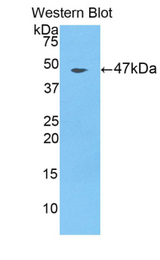 Western blot of recombinant FOLR1 / Folate Receptor Alpha.  This image was taken for the unconjugated form of this product. Other forms have not been tested.