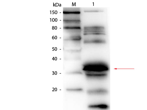 FOLR1 / Folate Receptor Alpha Antibody - Western Blot of Goat anti-Folate Binding Protein (Bovine Milk) Antibody Biotin Conjugated. Lane 1: Blotto. Load: 50.0 ug per lane. Primary antibody: Goat anti-Folate Binding Protein (Bovine Milk) Antibody Biotin Conjugated at 1:1,000 overnight at 4°C. Secondary antibody: HRP Streptavidin secondary antibody at 1:40,000 for 30 min at RT. Block: MB-070 for 30 minutes at RT. Predicted/Observed size: 28 kDa, 30 kDa for Folate Binding Protein. Migrates slightly higher. Other band(s): non-specific proteins in Blotto.