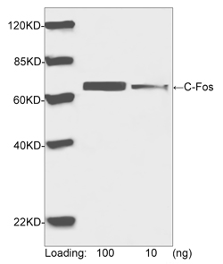 Western blot analysis of human C-Fos recombinant protein using Rabbit Anti-C-Fos Polyclonal Antibody The signal was developed with IRDye TM 800 Conjugated Goat Anti-Rabbit IgG.Predicted Size: 65 KDObserved Size: 65 KD