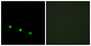 Immunofluorescence analysis of HUVEC cells treated with EGF 200nM 5', using FosB (Phospho-Ser27) Antibody. The picture on the right is blocked with the phospho peptide.