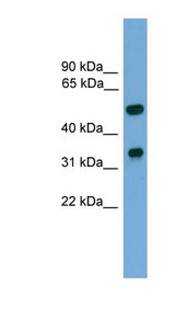 FOXA3 antibody Western blot of Mouse Brain lysate. This image was taken for the unconjugated form of this product. Other forms have not been tested.