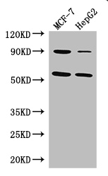 Positive WB detected in:MCF-7 whole cell lysate,HepG2 whole cell lysate;All lanes: FOXC1 antibody at 3ug/ml;Secondary;Goat polyclonal to rabbit IgG at 1/50000 dilution;Predicted band size: 57 kDa;Observed band size: 57,90 kDa;