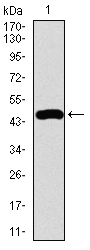 Western blot using FOXC2 monoclonal antibody against human FOXC2 recombinant protein. (Expected MW is 47.2 kDa)