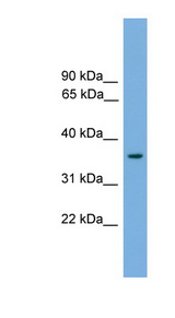 FOXF1 antibody Western blot of Mouse Heart lysate. This image was taken for the unconjugated form of this product. Other forms have not been tested.