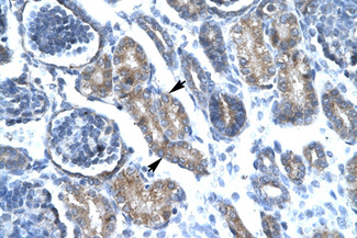 FOXF1 antibody ARP32296_T100-NP_001442-FOXF1 (forkhead box F1) Antibody IHC of formalin-fixed, paraffin-embedded human Kidney. Positive label: Epithelial cells of renal tubule indicated with arrows. Antibody concentration 4-8 ug/ml. Magnification 400X.  This image was taken for the unconjugated form of this product. Other forms have not been tested.