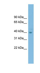 FOXH1 antibody LS-C116166 Western blot of HT1080 cell lysate.  This image was taken for the unconjugated form of this product. Other forms have not been tested.