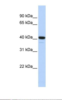 Fetal brain lysate. Antibody concentration: 1.0 ug/ml. Gel concentration: 12%.  This image was taken for the unconjugated form of this product. Other forms have not been tested.