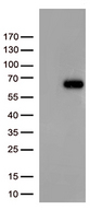 FOXN2 Antibody - HEK293T cells were transfected with the pCMV6-ENTRY control. (Left lane) or pCMV6-ENTRY FOXN2. (Right lane) cDNA for 48 hrs and lysed. Equivalent amounts of cell lysates. (5 ug per lane) were separated by SDS-PAGE and immunoblotted with anti-FOXN2. (1:500)